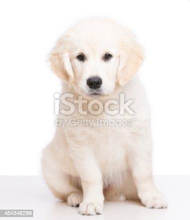 Golden retriever puppy  on white background