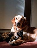 istock Golden Retriever dog and a tortoiseshell cat 1310305744
