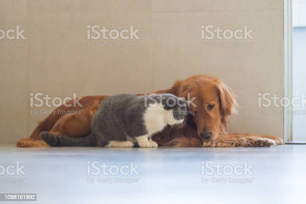 Golden retriever dog and british shorthaired cat picture id1098161992?b=1&k=6&m=1098161992&s=612x612&h=psewmtvwvnbsppegio1yc cu2yw puaehggvf6i2fo0=