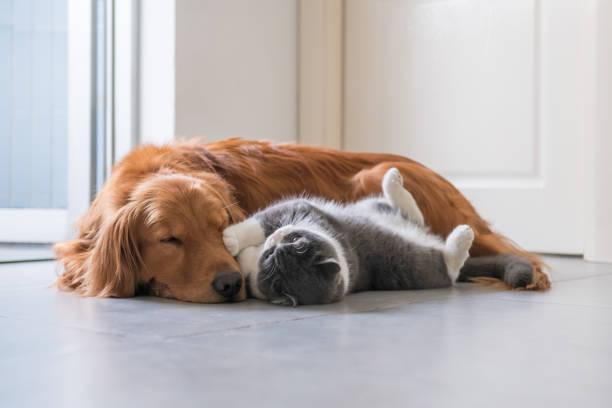 Golden Retriever Hund und British Kurzhaar-Katze – Foto