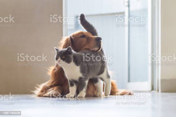 Golden retriever dog and british shorthaired cats picture id1087763026?b=1&k=6&m=1087763026&s=612x612&h=c0hamkccwh7gyjguo3n9eizmuxyptwvbxolsaefltgw=