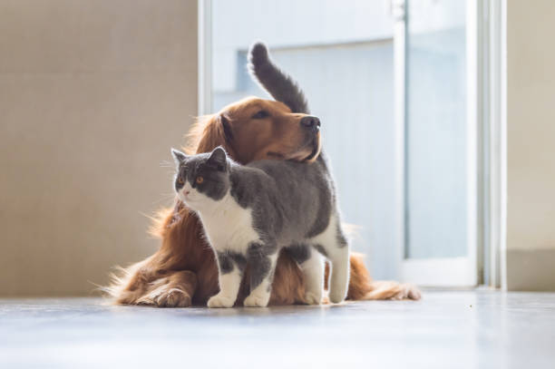 Golden Retriever dog and British short-haired cats Golden Retriever dog and British short-haired cats animal family stock pictures, royalty-free photos & images