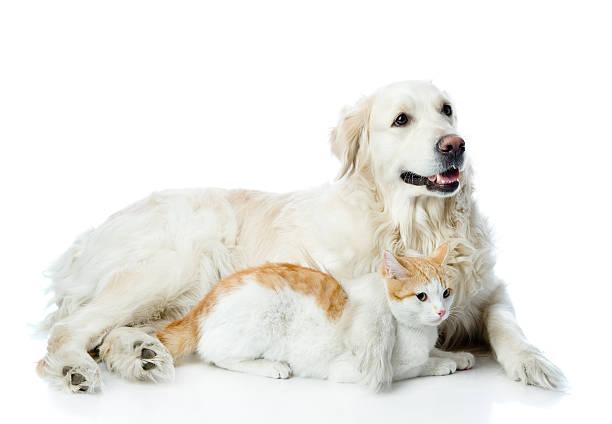 Golden retriever dog and cat picture id528478912?b=1&k=6&m=528478912&s=612x612&w=0&h=bbovvphayupgpa6g6s3sbmkyj1hhkys3wxoddgohaii=