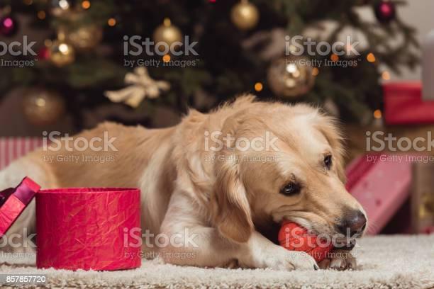 Golden retriever dog at christmas eve picture id857857720?b=1&k=6&m=857857720&s=612x612&h=qxqh7ewqdpawqakzlfkfrciqv zlutey5kos4r9zlrs=