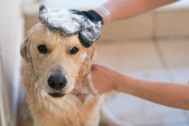 golden retriever dog bathing - bacinella metallica foto e immagini stock