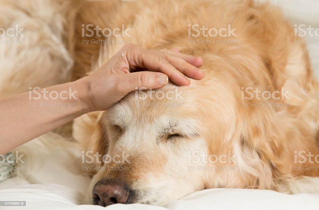 Golden Retriever dog cold royalty-free stock photo