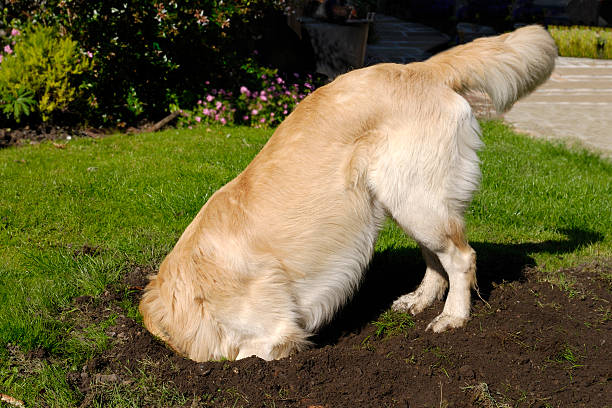 Golden Retriever dog digging hole Golden Retriever dog digging hole in grass lawn head in the sand stock pictures, royalty-free photos & images