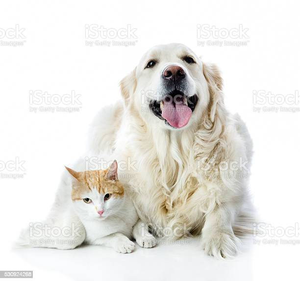Golden retriever dog embraces a cat isolated on white background picture id530924268?b=1&k=6&m=530924268&s=612x612&h=f jcakge6wqcli7wzwt6ffo f 9jpldgtbo6pqwnmyy=