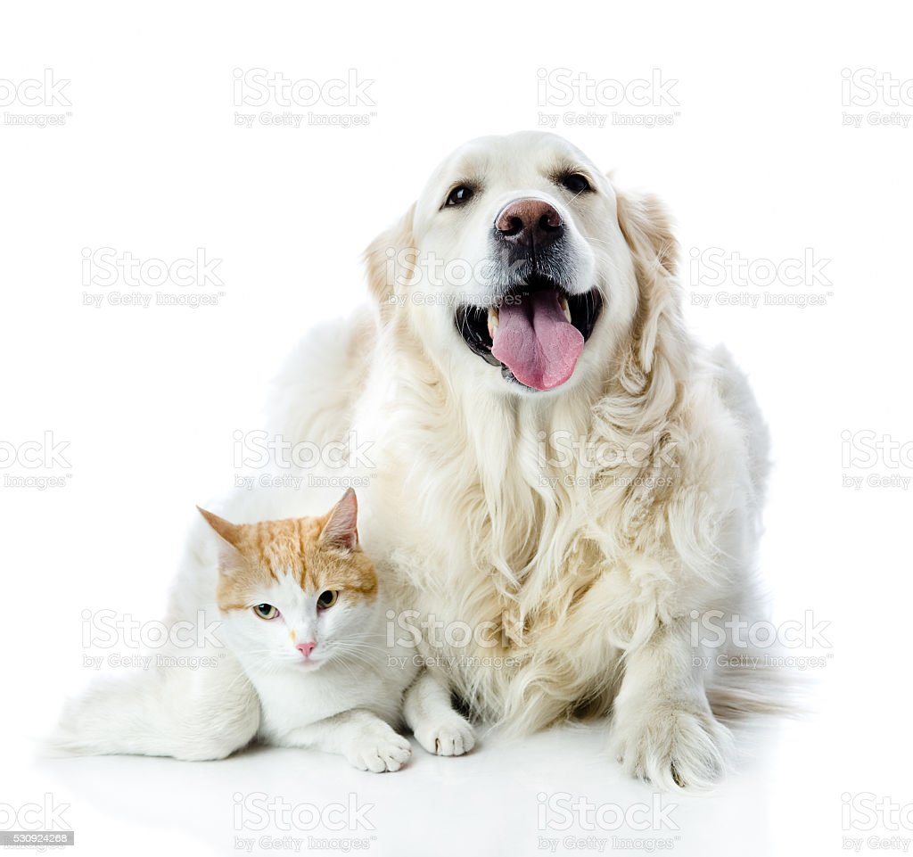 golden retriever dog embraces a cat. isolated on white background stock photo