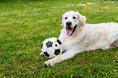 Golden Retriever dog enjoys playing with ball.
