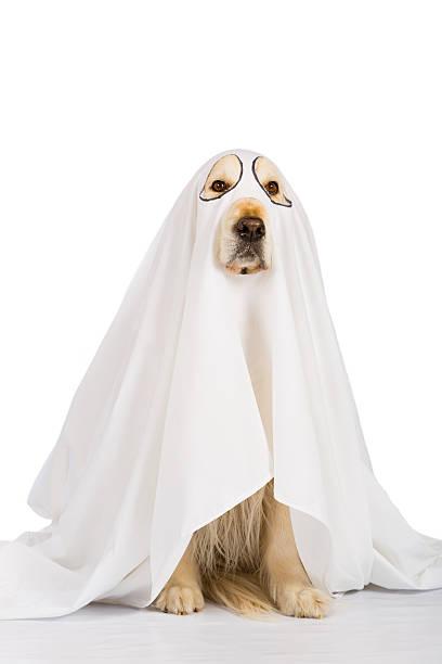 golden retriever dog ghost - canidés photos et images de collection