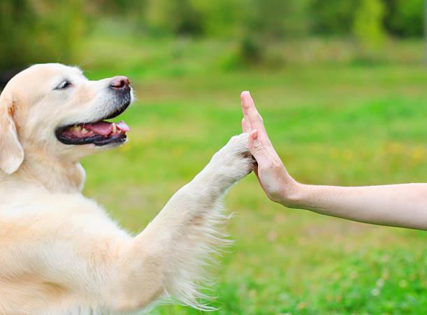 Golden Retriever dog giving paw owner, closeup photo stock photo