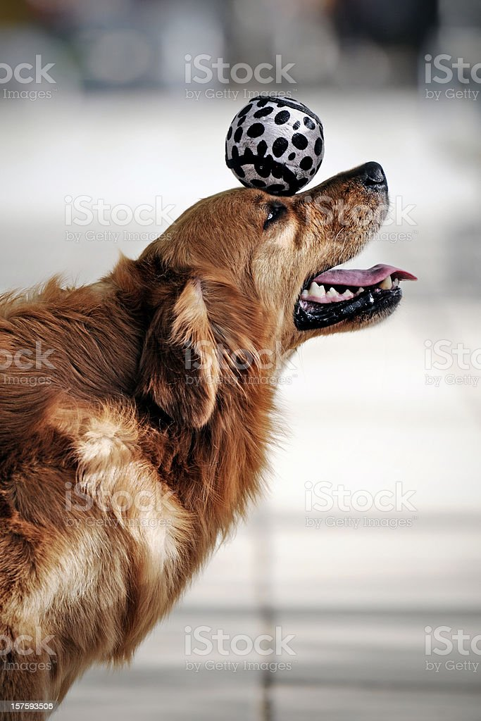 Golden Retriever Dog Heading the Ball - XLarge stock photo