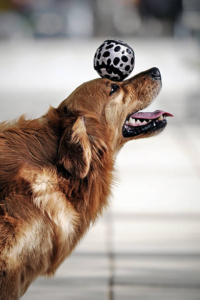 Golden Retriever Dog Heading the Ball - XLarge  animal tricks stock pictures, royalty-free photos & images