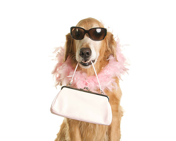 Golden Retriever Dog Holding Purse with Pink Boa and Sunglasses An adorable golden retriever is holding a pink purse in her mouth while wearing a pink feather boa and sunglasses.  Shot in the studio with a white background. For more Dog Photos from my portfolio please click here diva human role stock pictures, royalty-free photos & images