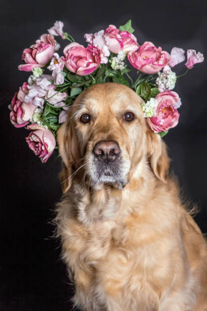 Golden Retriever dog in a flower crown, looking at the camera stock photo