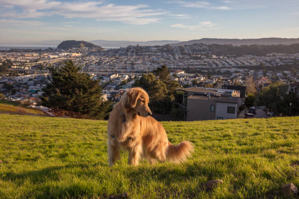 Golden retriever dog in city picture id1196851690?b=1&k=6&m=1196851690&s=612x612&w=0&h=dvqg18iqn9mc4l5rjglx6kgnkuxdxdpxd5u2bf0g60s=