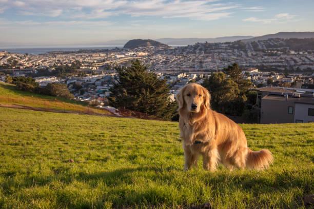Golden retriever dog in city picture id1196851691?b=1&k=6&m=1196851691&s=612x612&w=0&h=srwxg96mb1qrkeeyvtyqlusmxtaofnozznkbqrur83q=
