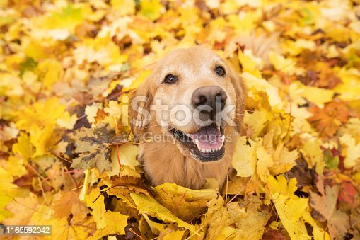 Happy Golden Retriever Dog sitting in a pile of leaves in the Fall