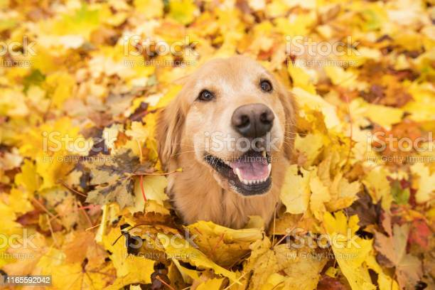 Golden retriever dog in fall colored leaves picture id1165592042?b=1&k=6&m=1165592042&s=612x612&h=ykgpftcdghct5gsfm6wqdlde rnebucfz3jpjyza6pg=