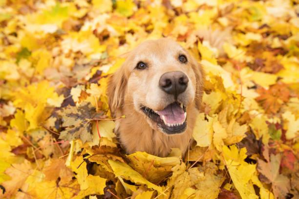 golden retriever dog in fall colored leaves - autumn стоковые фото и изображения