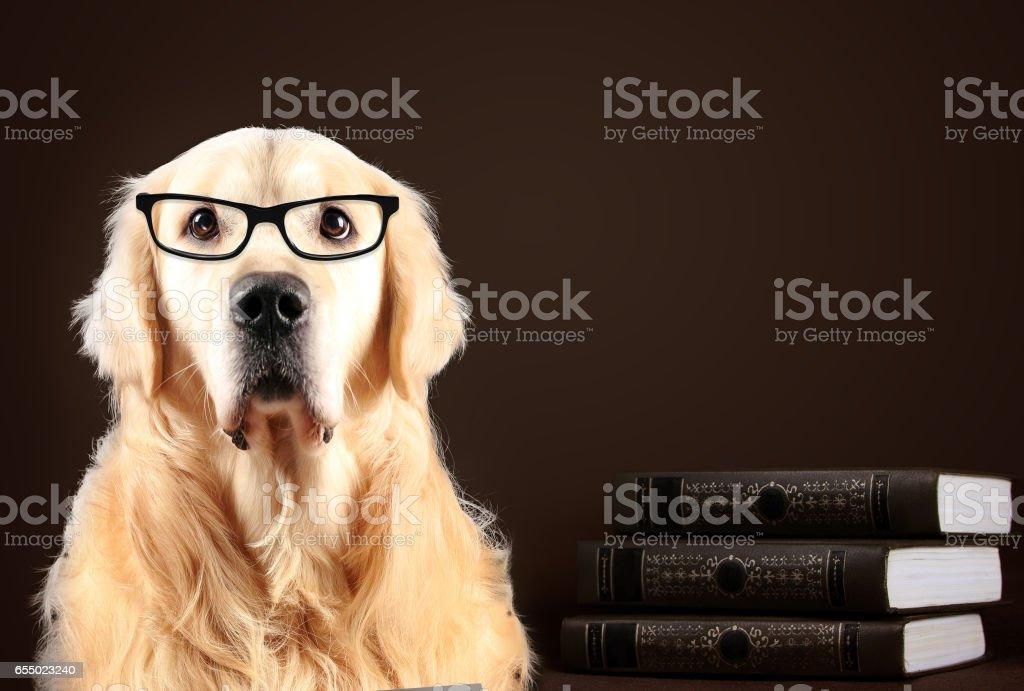 Fotografia De Perro Golden Retriever Gafas Sentado En Fondo Negro