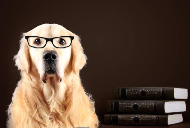 golden retriever hund in gläsern sitzen auf schwarzen hintergrund mit büchern - humor bücher stock-fotos und bilder