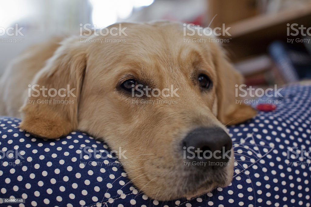 Golden retriever dog is dreaming royalty-free stock photo