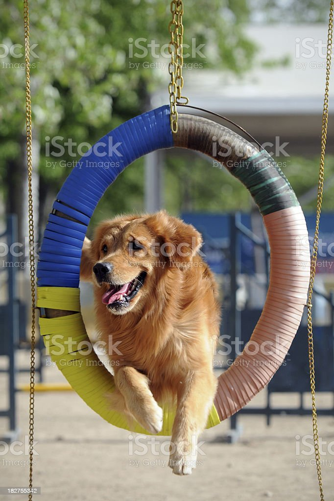Golden Retriever Dog Jumping Barrier royalty-free stock photo