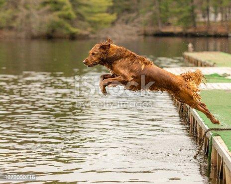 istock A golden retriever dog jumping off a dock into a lake 1272000716