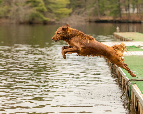 A dog leaping into a lake