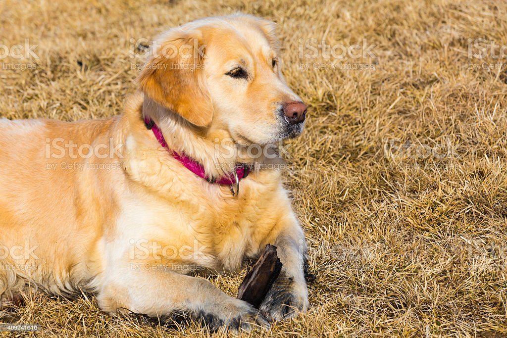 Golden retriever dog laying on dry glass field stock photo