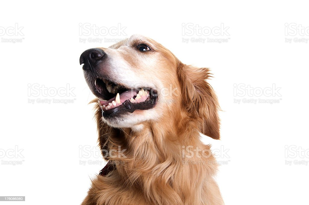 Golden Retriever Dog Looking Up to the Side On White royalty-free stock photo