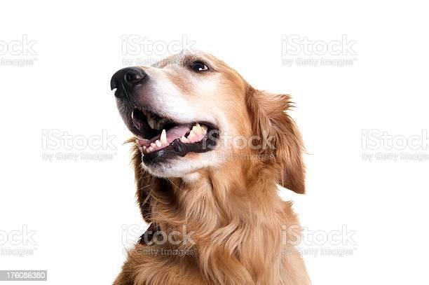 Golden retriever dog looking up to the side on white picture id176086380?b=1&k=6&m=176086380&s=612x612&h=gavyifggzf 69trmibasffrt93gbt4dkamrwhfkgkcs=