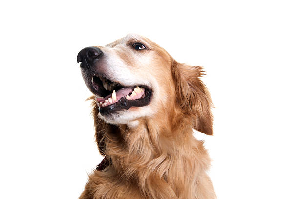 golden retriever pies patrząc na bok na białym tle - golden retriever zdjęcia i obrazy z banku zdjęć