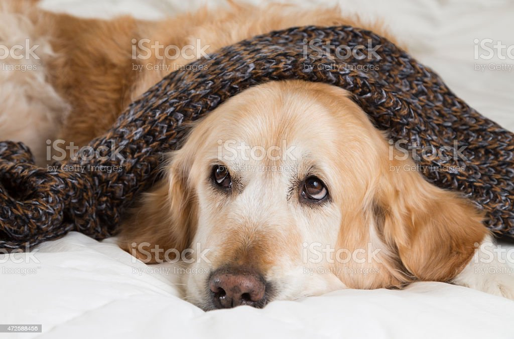 A golden retriever dog lying in bed feeling cold stock photo