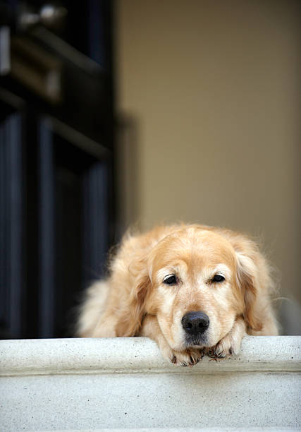 Golden retriever dog lying in front door of house, stock photo
