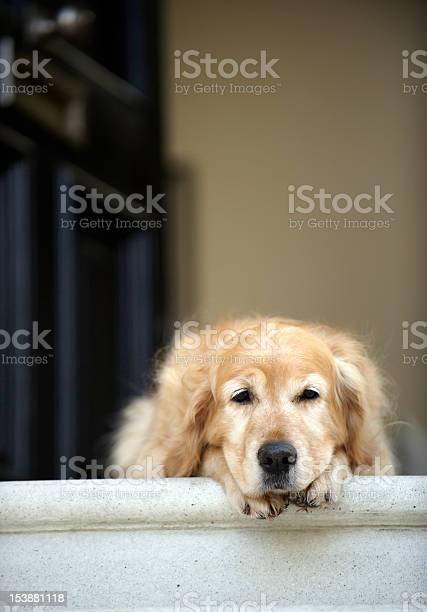 Golden Retriever Dog Lying In Front Door Of House Stock Photo - Download Image Now