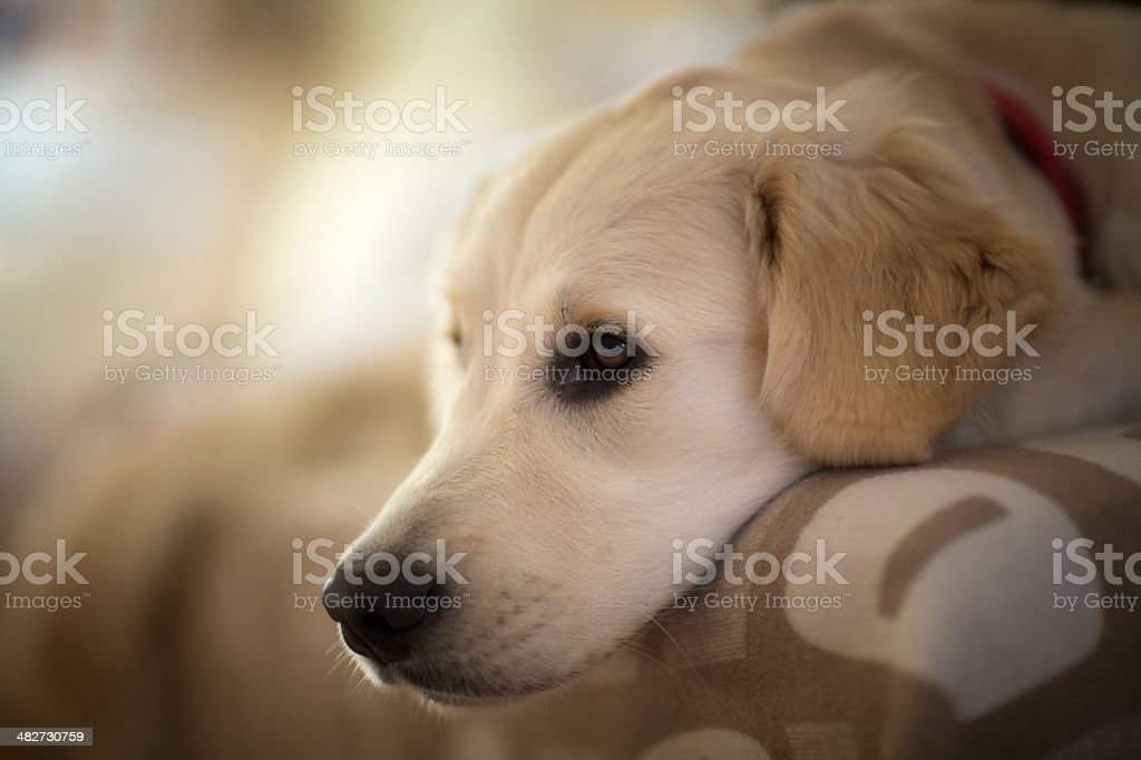 Golden retriever dog lying on sofa, close-up stock photo