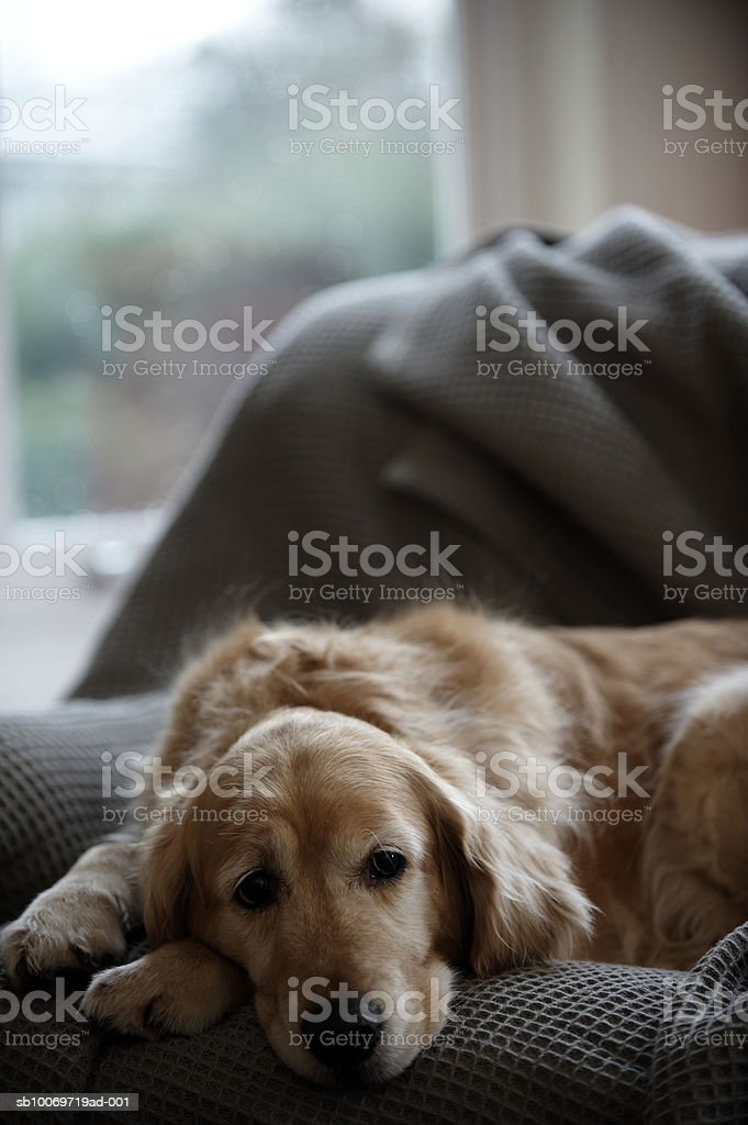 Golden retriever dog lying on sofa, close-up (focus on foreground) royalty-free stock photo