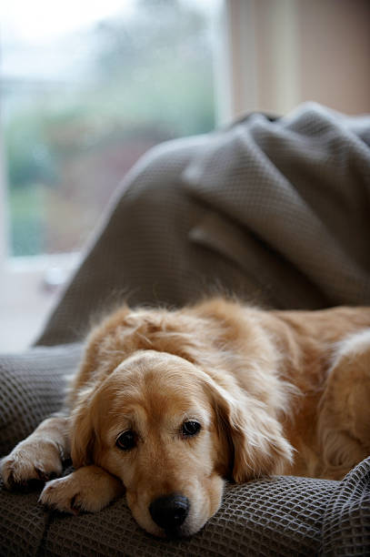 Golden retriever dog lying on sofa, close-up (focus on foreground) stock photo
