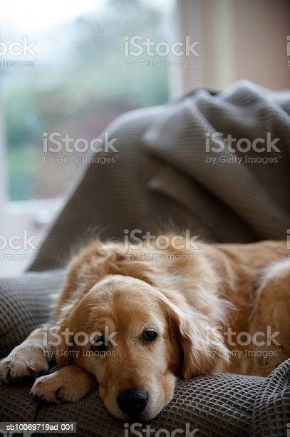 Golden Retriever Dog Lying On Sofa Closeup Stock Photo - Download Image Now