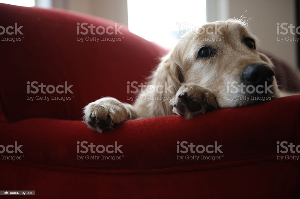 Golden retriever dog lying on sofa, close-up royalty free stockfoto