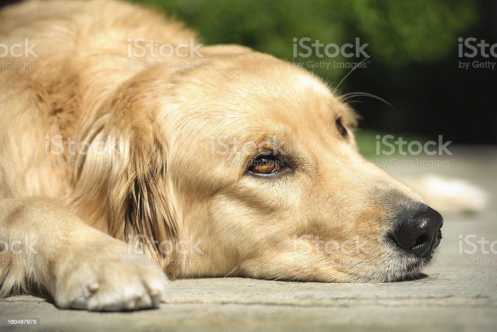 Golden retriever dog lying on the floor royalty-free stock photo