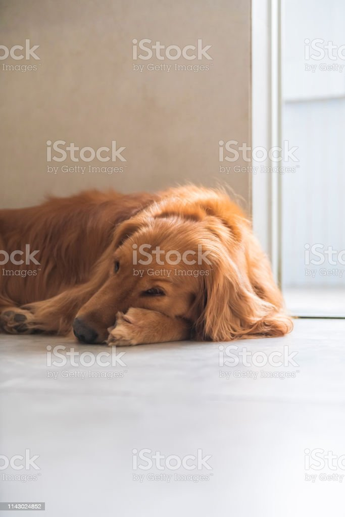 Golden Retriever Dog lying on the ground stock photo