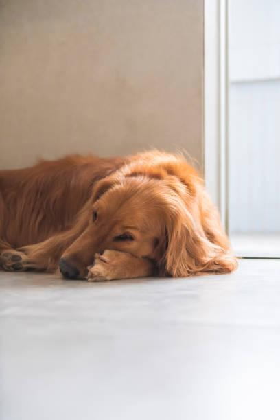 Cão do Retriever dourado que encontra-se na terra - foto de acervo