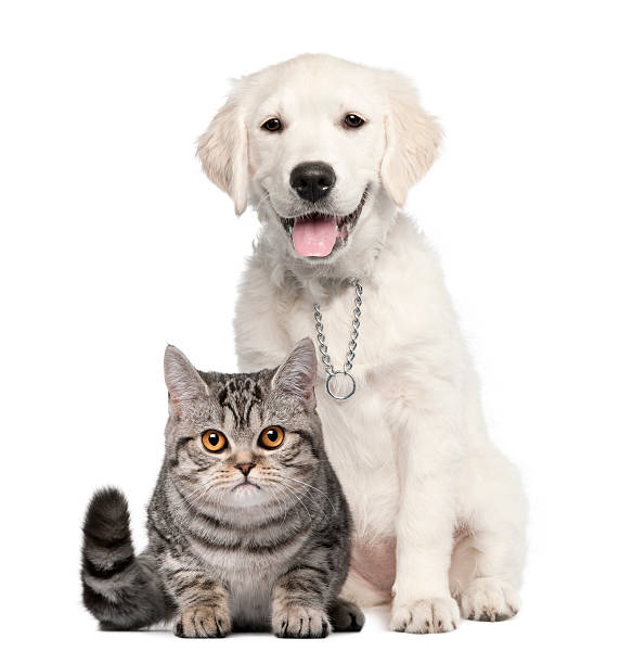 Golden retriever dog next to british shorthair cat picture id167594510?b=1&k=6&m=167594510&s=612x612&w=0&h=dijvze9yom28n6 q6qc36s0xgwyh7x0luc6lmbcfkdw=