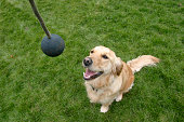 Golden Retriever dog training, United Kingdom