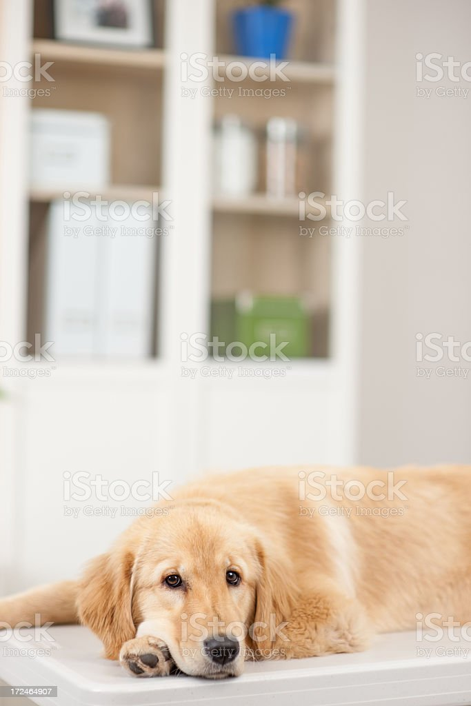 Golden Retriever Dog royalty-free stock photo