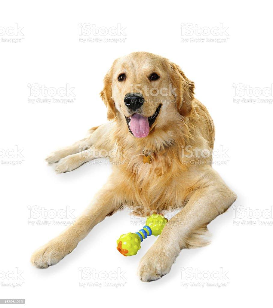 Golden retriever dog royalty-free stock photo